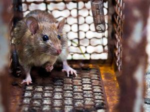 dératisation paris 19 Piège à Rat
